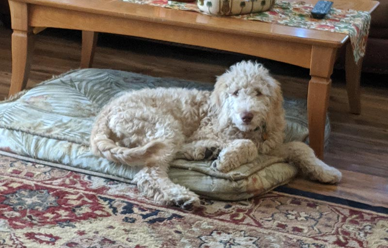 Ollie the goldendoodle